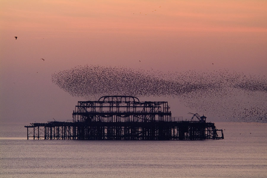 Murmuration [Courtesy of SteveMcN, via a Creative Commons 2.0 licence]