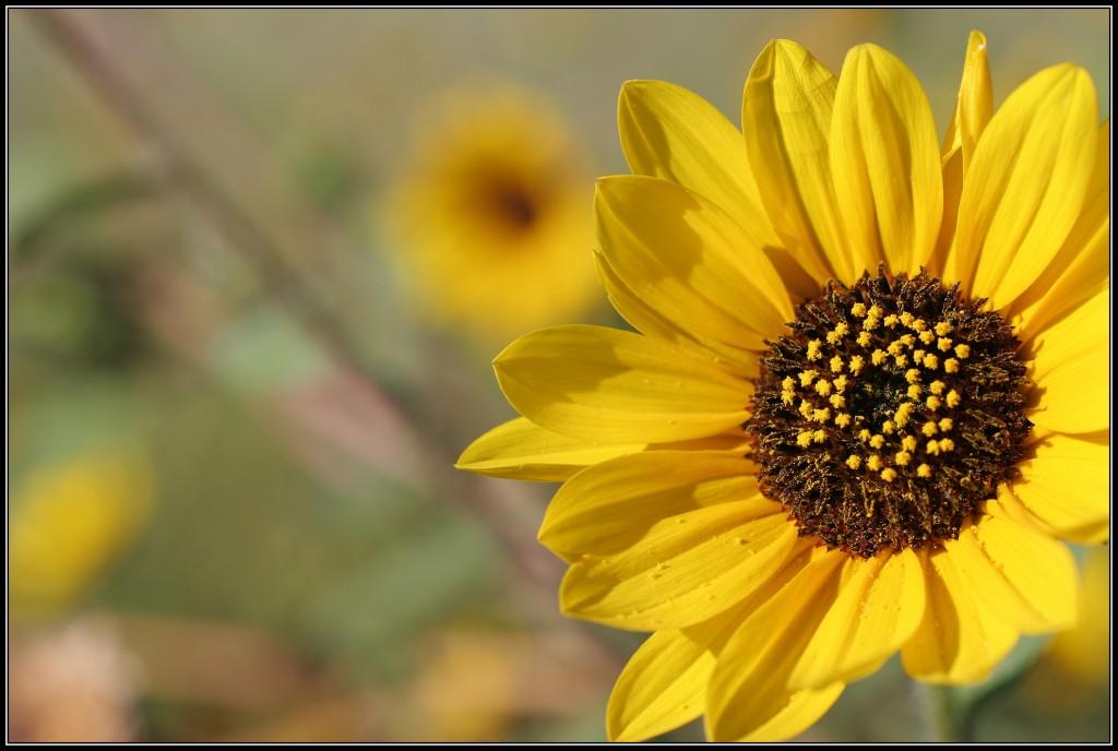sunflowerwpollen