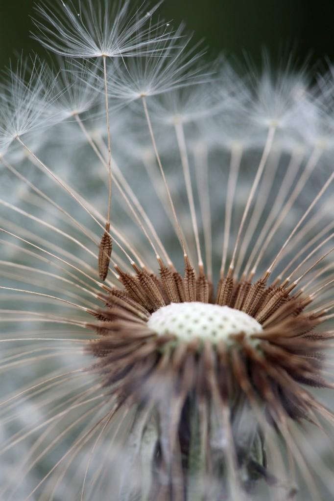 2014 9 7 - Dandelion w seed - 9S3A2420